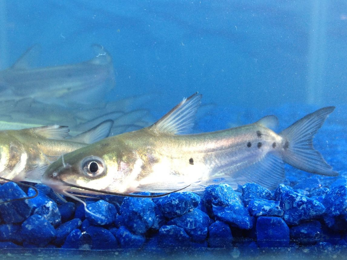 Blue Channel Catfish Pack Of 2