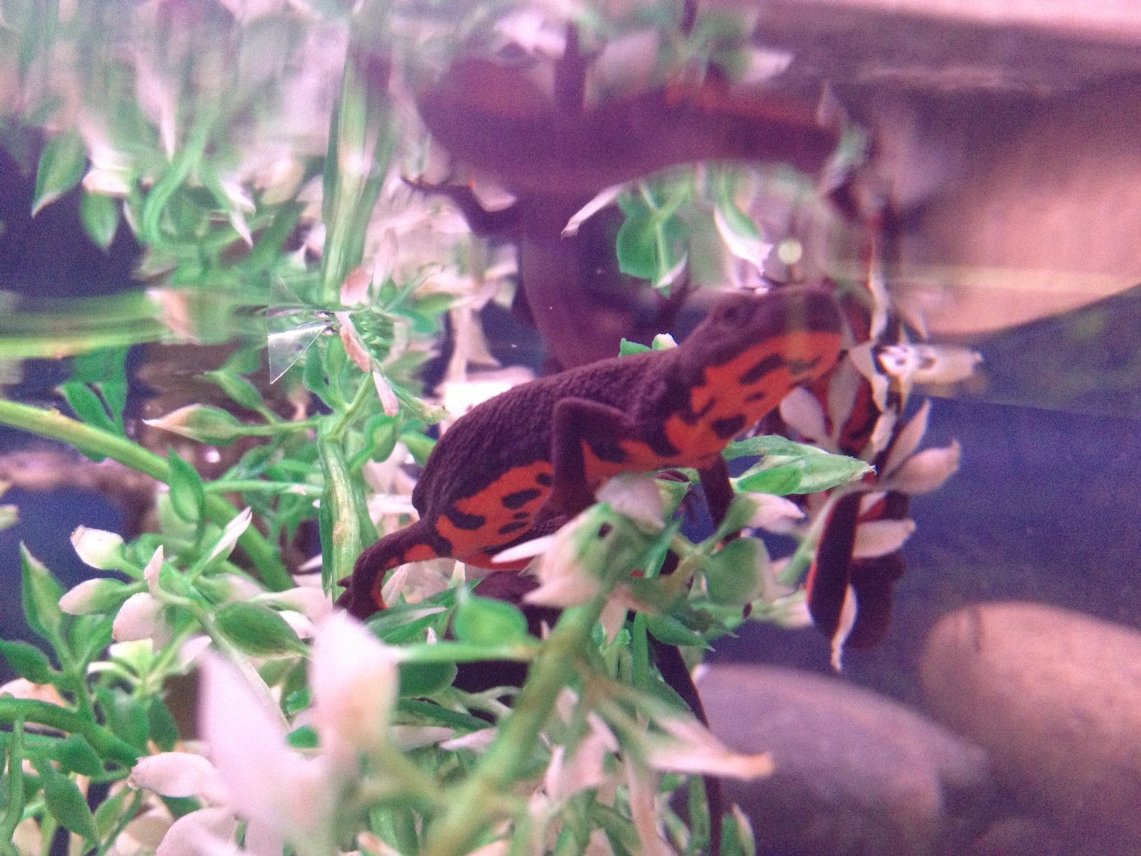 Common Name: Chinese Fire Bellied Newts