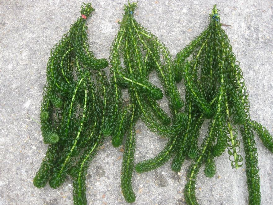 Elodea crispa pack of 3 for Best aquatic plants for small ponds
