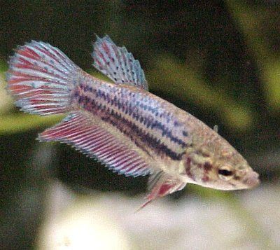 Female Betta Fish Pack Of 3