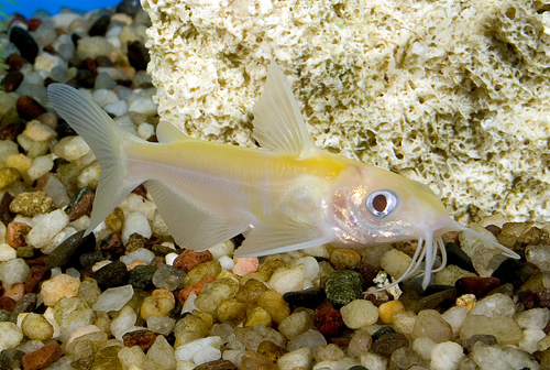 Gold Channel Catfish Pack Of 2