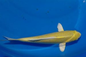 Ogon koi carp metallic lemon yellow for Yamabuki ogon koi for sale