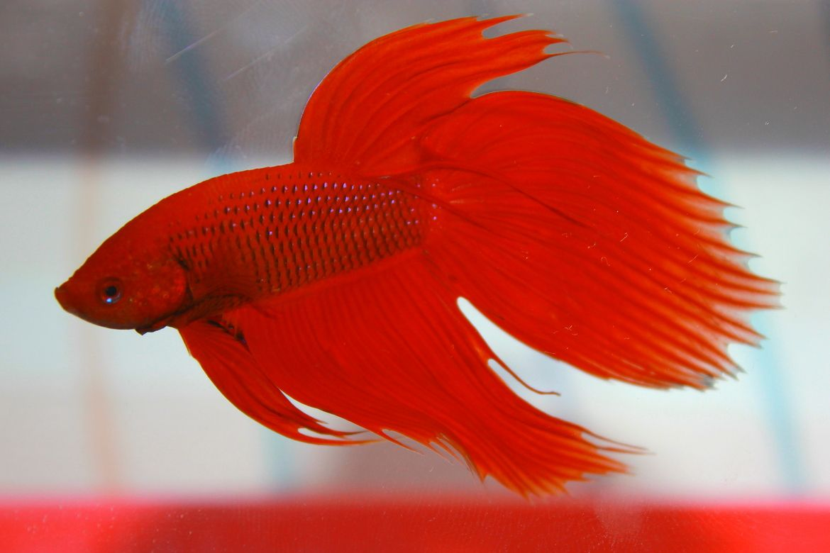 Pink Betta Fish Photos >> Red Siamese Fighting Fish Betta Fish ...