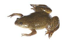 """Brown"" Cold Water African Clawed Toad (Pack of Two)"