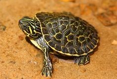 Baby Hieroglyphic Terrapin River Cooter (Pseudemys concinna Hieroglyphica)